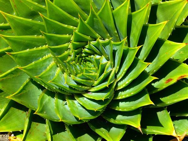 fibonacci sequence nature