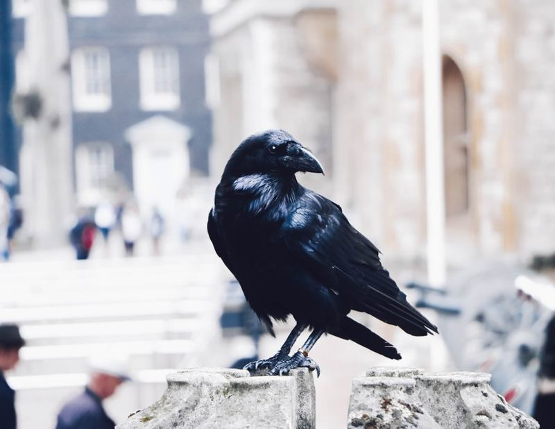 dreams about ravens