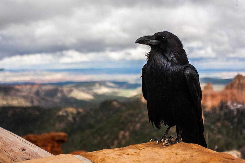 dreams about birds raven crow